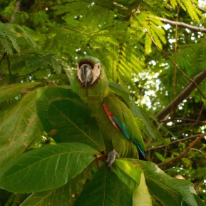 One of the many parrots.